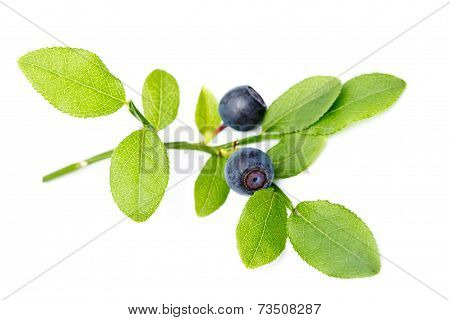 Ripe Bilberries On Twig With Leaves On White Background