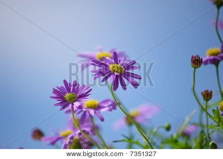 Purple Michaelmas Daisies