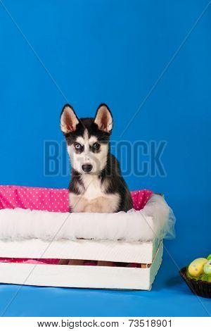 Husky puppy in a box