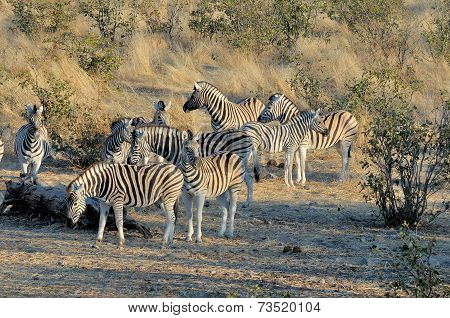 Zebra Herd At Sunrise