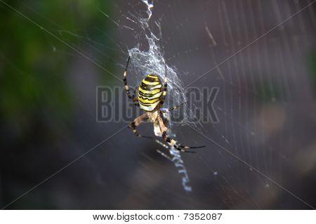 Garden Spider -  Argiope Aurantia