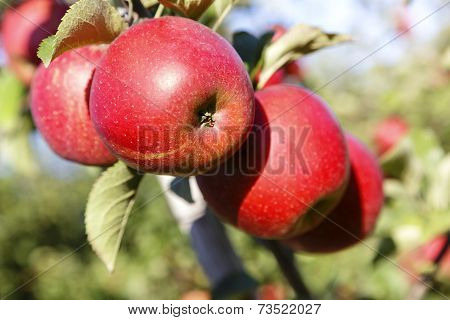 Apples Hanging From A Apple Tree