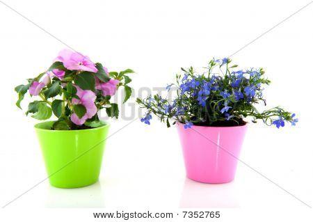 Blue Lobelia And Blue Lobelia
