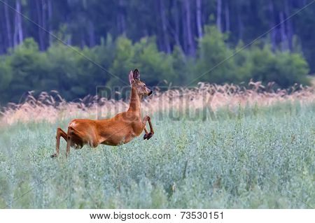 Roe-deer on the run in a clearing