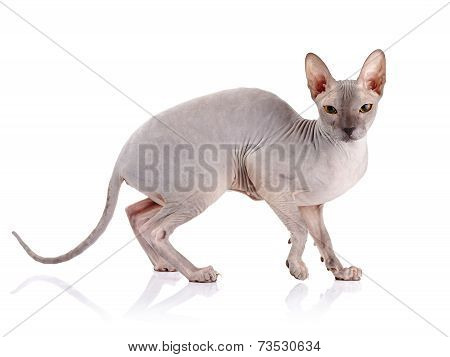 Naked Cat.