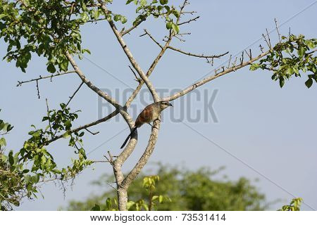 White-browed Coucal In Africa