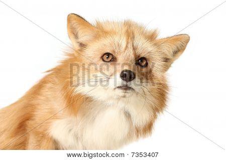 Red Fox In Studio