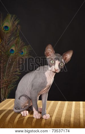 Canadian Hairless