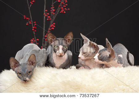 Four Sphynx Kitten