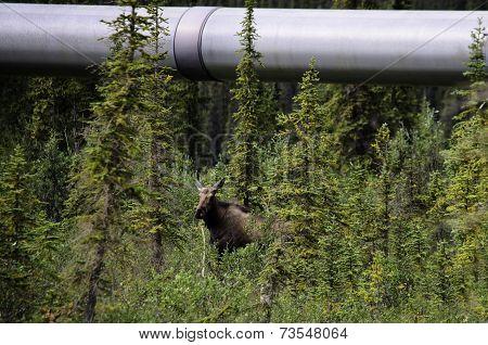 Alaska wildlife and pipeline