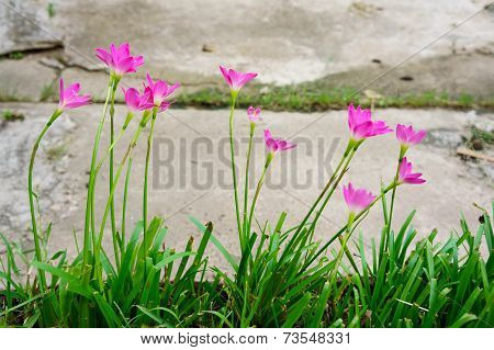 Pink Lily Rain Lily Flower