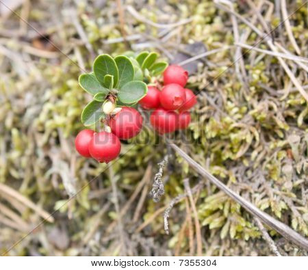 Macro A Mature Cowberry