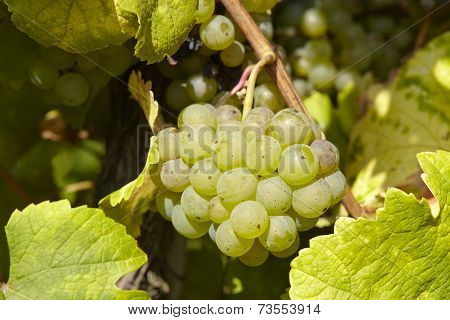 Vineyard - Grapes And Vine Leaves