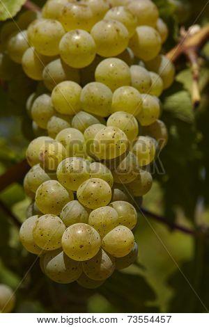 Vineyard - Grapes