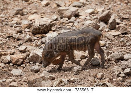 Wild Boar, Wild Pig On Field