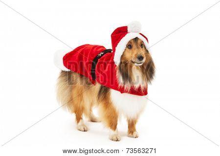 Shetland sheepdog in santa dress over white background