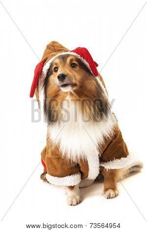 Portrait of shetland sheepdog in reindeer costume over white background