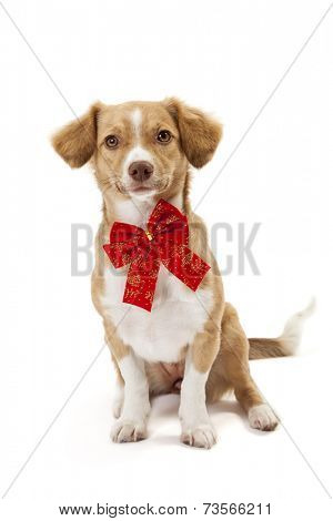 Cute dog wearing red bow isolated over white background