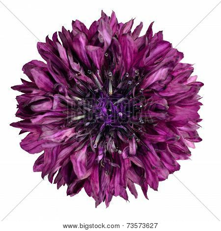 Purple Cornflower Flower Isolated On White Background