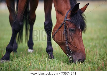 Chestnut horse eating grass