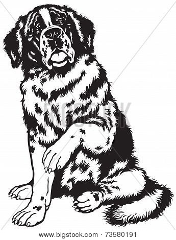 saint bernard dog black and white