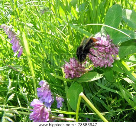 Bumblebee On A Flower Clover