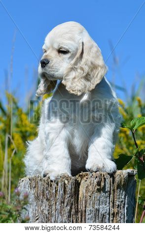 cute american cocker spaniel puppy sitting on a wood stump