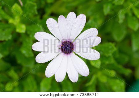 White Osteospermum African Daisy