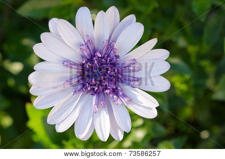 Osteospermum African Daisy