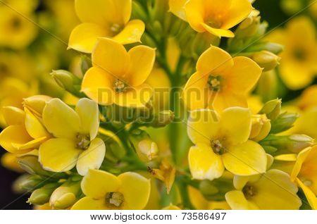 Yellow Kalanchoe / Succulent