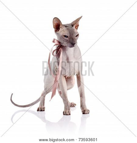 Bald Cat With A Tape.