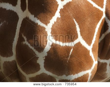 Giraffe Close Up 2