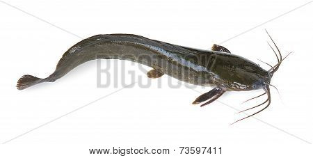 Channel Catfish Isolated On A White Background.
