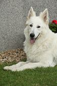 image of swiss shepherd dog  - Portrait of Amazing White Swiss Shepherd Dog - JPG