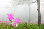 picture of curcuma  - Curcuma alismatifolia field in national park with fog - JPG