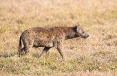 stock photo of hyenas  - One hyena walks in nature daytime in Tanzania Africa - JPG