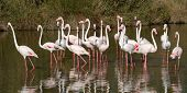 pic of greater  - Fock of greater flamingos, phoenicopterus roseus, in a pond in Camargue, France ** Note: Shallow depth of field - JPG