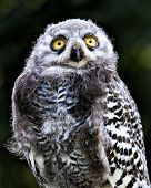 stock photo of snowy owl  - A young snowy owl stares at the camera - JPG