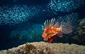 picture of lion-fish  - Red lion fish swimming over coral reef surrounded its prey  - JPG