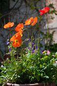 picture of english cottage garden  - Orange Poppies in an English Cottage Garden - JPG