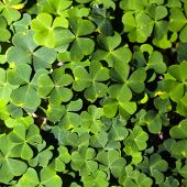 stock photo of sorrel  - Wood sorrel or common wood sorrel growing in a forest - JPG