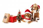 picture of dog christmas  - Portrait of two dogs with christmas gift and miniature christmas tree - JPG