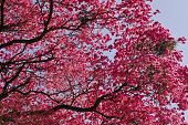 stock photo of lapacho  - A Pink Lapacho tree in Asunci - JPG