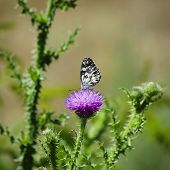 stock photo of scottish thistle  - Photo of Thistle and Buterfly Over Natural Background - JPG