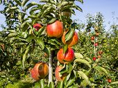 stock photo of orchard  - Orchard with ripe apple trees in Zeeland - JPG