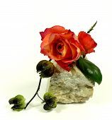 image of adornment  - a orange rose with adorn physalis on a stone - JPG