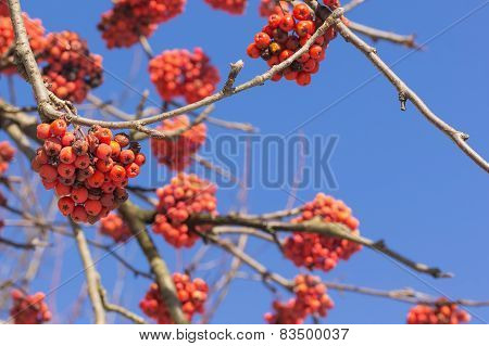 Branches With Red Ash