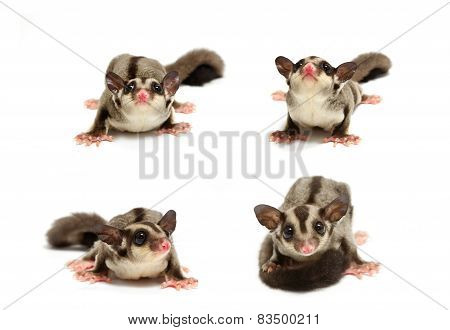 Young Sugar Glider Looking Photograp