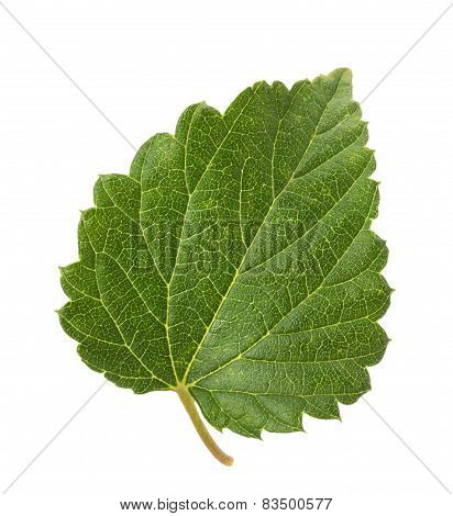 Hop Leaf  Isolated On The White Background