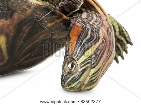 Turtle Isolated On The White Background